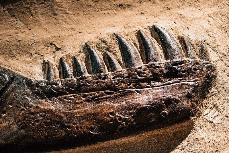 dinosaur teeth fossil
