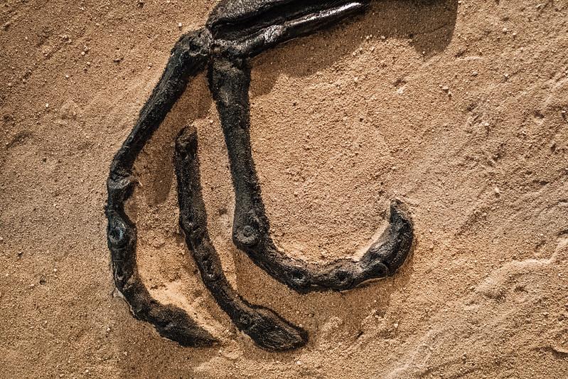 dinosaur foot fossil